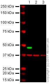 Western blot - Anti-MCPyV_gp3 large T antigen antibody [Ab3] - BSA and Azide free (ab269582)