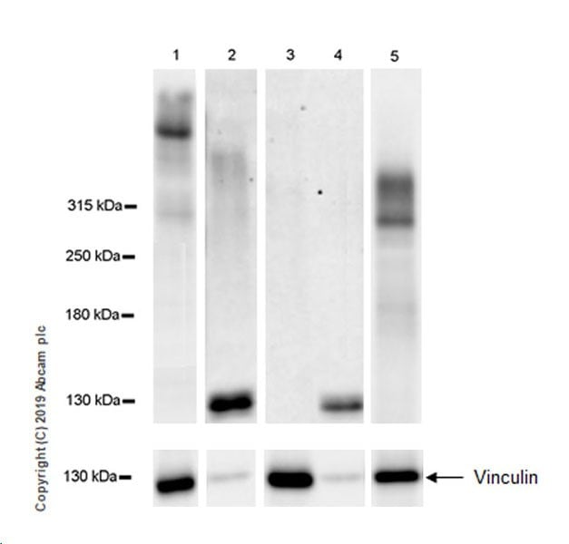 Western blot - Anti-Heparan Sulfate Proteoglycan 2/Perlecan antibody [EPR22844-82P] - BSA and Azide free (ab269589)