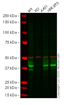 Western blot - Anti-Bmi1 antibody [BMI1/2823] (ab269678)
