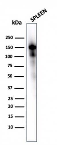 Western blot - Anti-CD163 antibody [M130/1210] - BSA and Azide free (ab269691)
