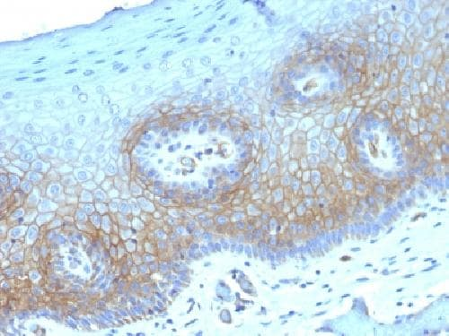 Immunohistochemistry (Formalin/PFA-fixed paraffin-embedded sections) - Anti-Thrombomodulin antibody (ab269764)