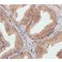 Immunohistochemistry (Formalin/PFA-fixed paraffin-embedded sections) - Anti-ATG16L1 antibody [EPR15638] - N-terminal (ab187671)