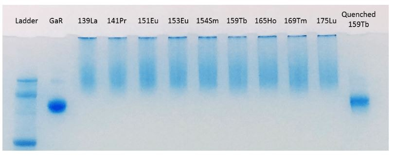 Gel Image Showing Lightning-Link® Metal Labeling Kit Antibody Labeling Efficiency.