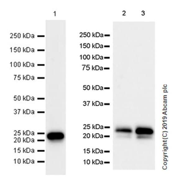 Western blot - Anti-IGJ antibody [EPR23130-113] (ab269855)