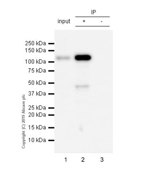 Immunoprecipitation - Anti-Eph receptor B4/HTK antibody [EPR23221-54] - BSA and Azide free (ab269867)