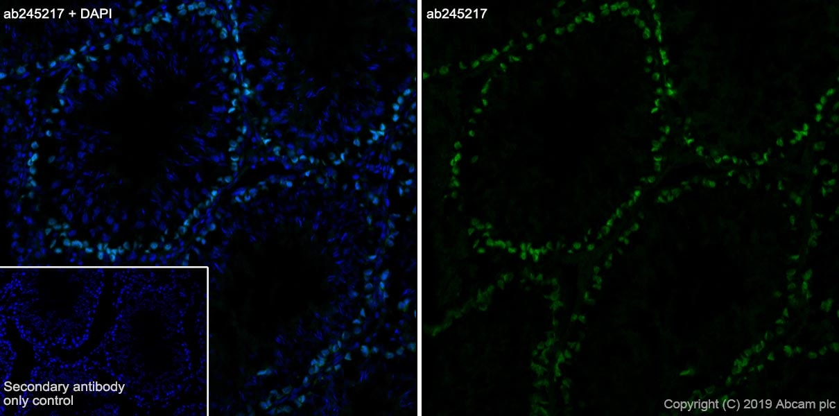 Immunohistochemistry (Frozen sections) - Anti-DMC1 antibody [EPR23207-130] - BSA and Azide free (ab269869)