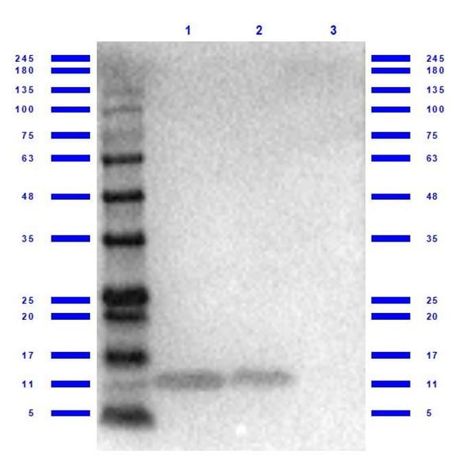 Western blot - Anti-GRO alpha antibody (ab269939)