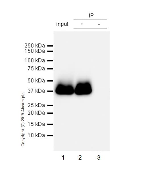 Immunoprecipitation - Anti-Junctional Adhesion Molecule 1/JAM-A antibody [EPR23244-12] (ab269948)