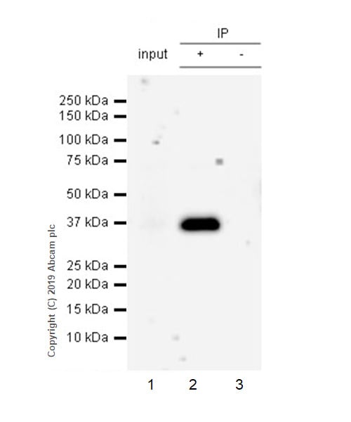 Immunoprecipitation - Anti-SFRP1 antibody [EPR23092-253] - BSA and Azide free (ab269949)