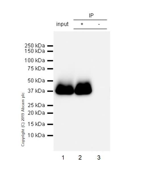 Immunoprecipitation - Anti-Junctional Adhesion Molecule 1/JAM-A antibody [EPR23244-12] - BSA and Azide free (ab269950)
