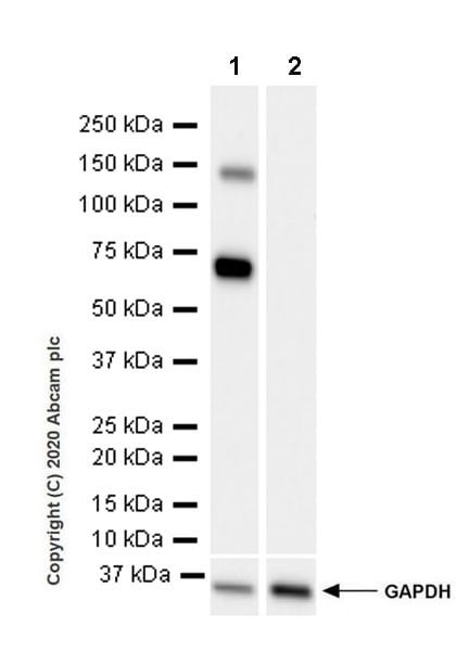Western blot - Anti-ALPPL2 antibody [EPR20905-21] - BSA and Azide free (ab269957)