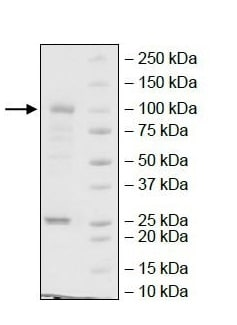 SDS-PAGE - Recombinant human ErbB2 / HER2 protein (Active) (ab269979)