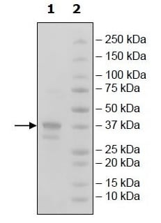SDS-PAGE - Recombinant Human BCMA protein (Tagged) (Biotin) (ab269984)