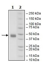 SDS-PAGE - Native Human CD38 protein (Tagged) (ab269991)