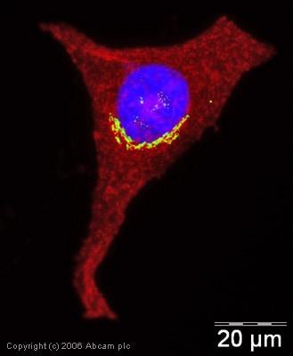 Immunocytochemistry/ Immunofluorescence - Anti-58K Golgi protein antibody [58K-9] - Golgi Marker (ab27043)