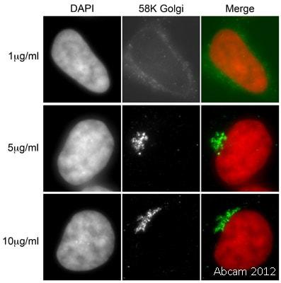 Immunocytochemistry - Anti-58K Golgi protein antibody [58K-9] - Golgi Marker (ab27043)