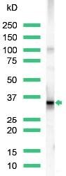 Western blot - Anti-CD20 antibody (ab27093)