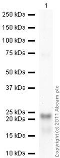Western blot - Anti-BLBP antibody - Neuronal Marker (ab27171)