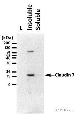Western blot - Anti-Claudin 7/CLDN-7 antibody (ab27487)