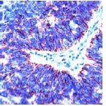 Immunohistochemistry (Formalin/PFA-fixed paraffin-embedded sections) - Anti-Claudin 7/CLDN-7 antibody (ab27487)