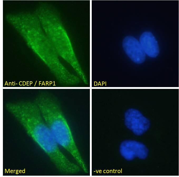 Immunocytochemistry/ Immunofluorescence - Anti-FARP1 antibody (ab27494)