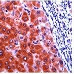 Immunohistochemistry (Formalin/PFA-fixed paraffin-embedded sections) - Anti-Cellular Apoptosis Susceptibility/CSE1L antibody (ab27518)