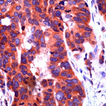 Immunohistochemistry (Formalin/PFA-fixed paraffin-embedded sections) - Anti-Notch1 antibody (ab27526)