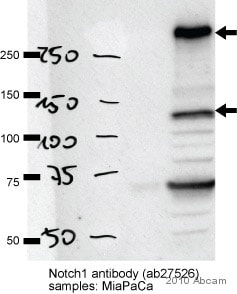 Western blot - Anti-Notch1 antibody - ChIP Grade (ab27526)