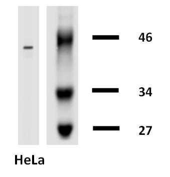 Western blot - Biotin Anti-Cytokeratin 18 antibody [DA-7] (ab27549)