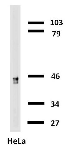 Western blot - Biotin Anti-Cytokeratin 18 antibody [C-04] (ab27553)