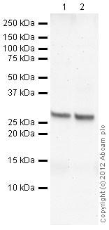Western blot - Anti-SLUG antibody (ab27568)