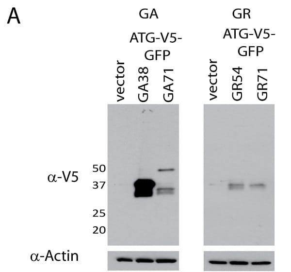 Western blot - Anti-V5 tag antibody [SV5-Pk1] (ab27671)