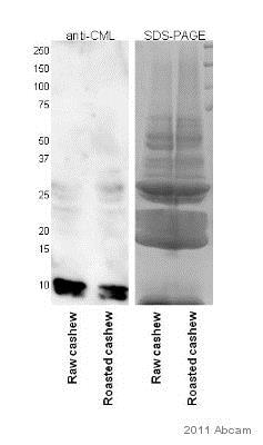 Western blot - Anti-Carboxymethyl Lysine antibody (ab27684)