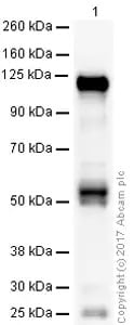 Western blot - Anti-CD133 antibody [mAbcam27699] (ab27699)