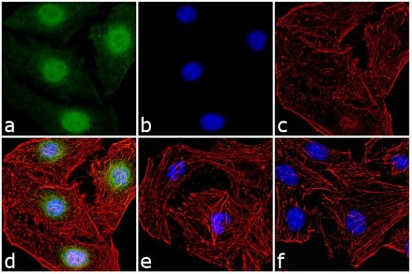 Immunocytochemistry/ Immunofluorescence - Anti-c-Fos (phospho T325) antibody (ab27793)