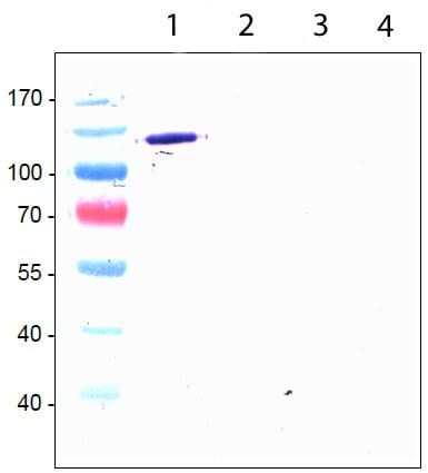 Western blot - Anti-TIE1 antibody [8C9] (ab27851)