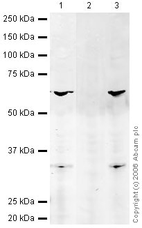 Western blot - Human FOXO3A (unmodified ) peptide (ab27884)