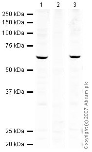 Western blot - Human FOXO3A (phospho S253) peptide (ab27885)