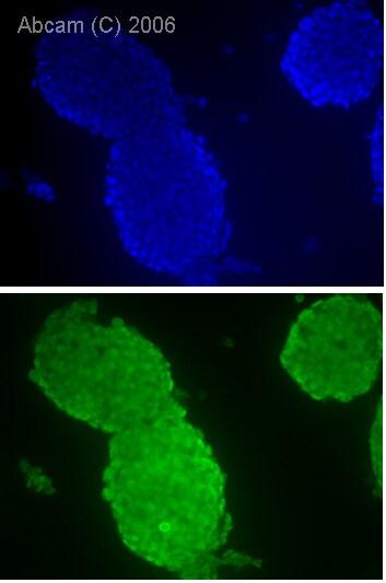 Immunocytochemistry/ Immunofluorescence - Anti-Oct4 antibody (ab27985)