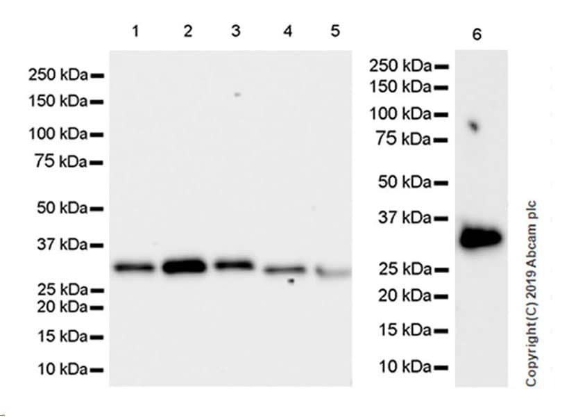 Western blot - Anti-GC1q R antibody [EPR23238-107] (ab270032)