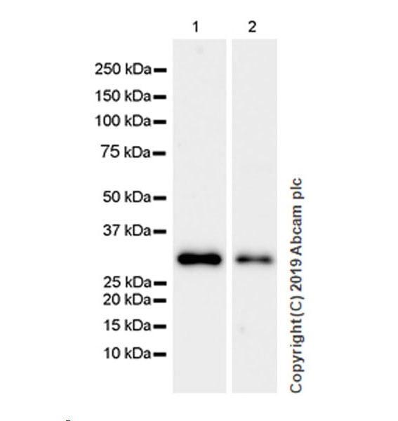 Western blot - Anti-GC1q R antibody [EPR23238-6] (ab270033)