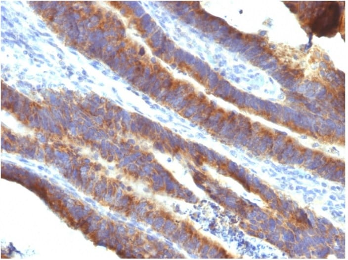 Immunohistochemistry (Formalin/PFA-fixed paraffin-embedded sections) - Anti-MUC3 antibody [M3.1] - BSA and Azide free (ab270282)