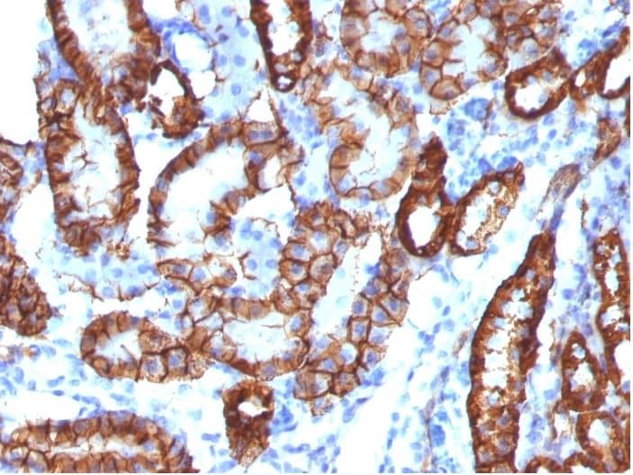 Immunohistochemistry (Formalin/PFA-fixed paraffin-embedded sections) - Anti-Cadherin 16 antibody [CDH16/1532R] - BSA and Azide free (ab270294)
