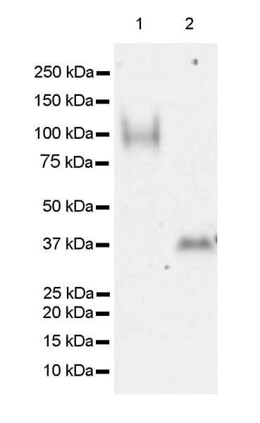 Western blot - Anti-UNQ511 antibody [EPR23557-128] (ab270397)