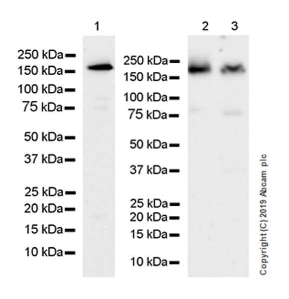 Western blot - Anti-PELP1 antibody [EPR22863-99] (ab270398)