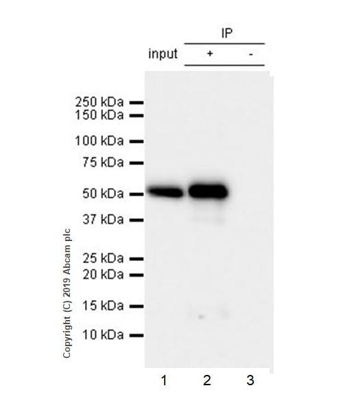 Immunoprecipitation - Anti-Carbonic Anhydrase 9/CA9 antibody [EPR23055-5] - BSA and Azide free (ab270401)