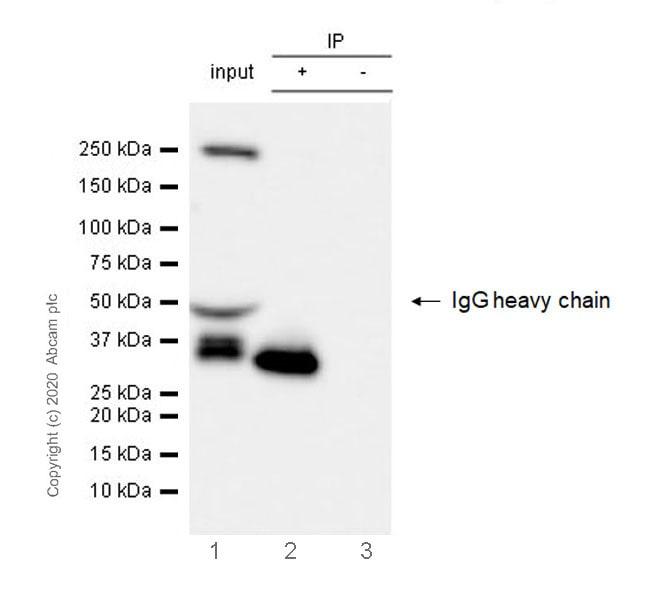 Immunoprecipitation - Anti-Ficolin 2 antibody [EPR23146-225] - BSA and Azide free (ab270404)