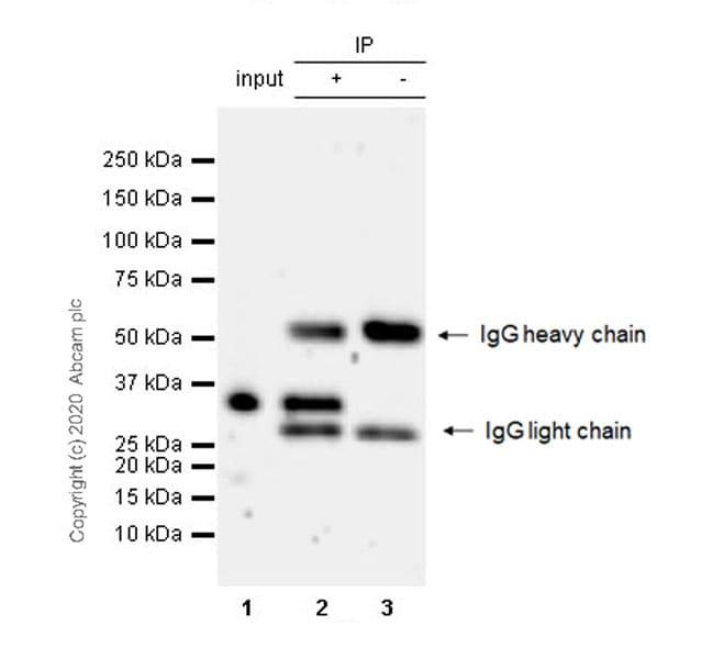 Immunoprecipitation - Anti-CEBP Delta/CEBPD antibody [EPR23518-259] - BSA and Azide free (ab270410)