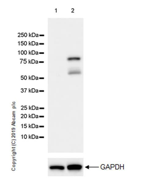 Western blot - Anti-Ezrin antibody [EPR23353-55] (ab270442)
