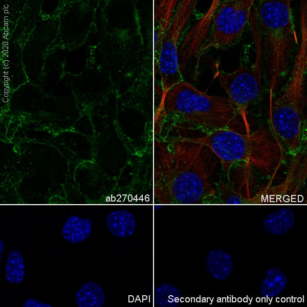 Immunocytochemistry/ Immunofluorescence - Anti-Junctional Adhesion Molecule 1/JAM-A antibody [EPR23246-275] (ab270446)